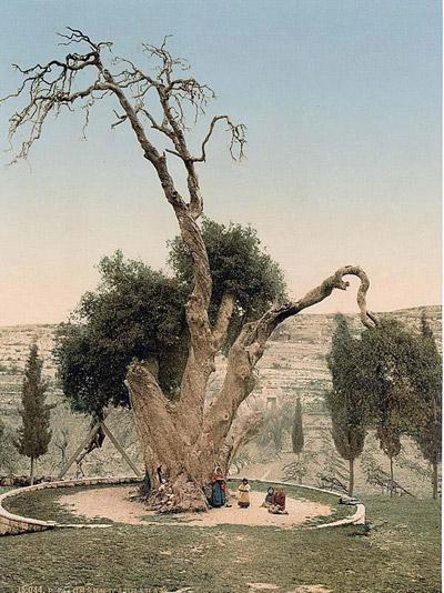 Мамврийский дуб в начале XX века
