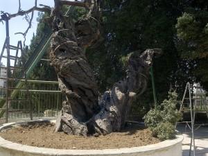 Мамврийский дуб сегодня